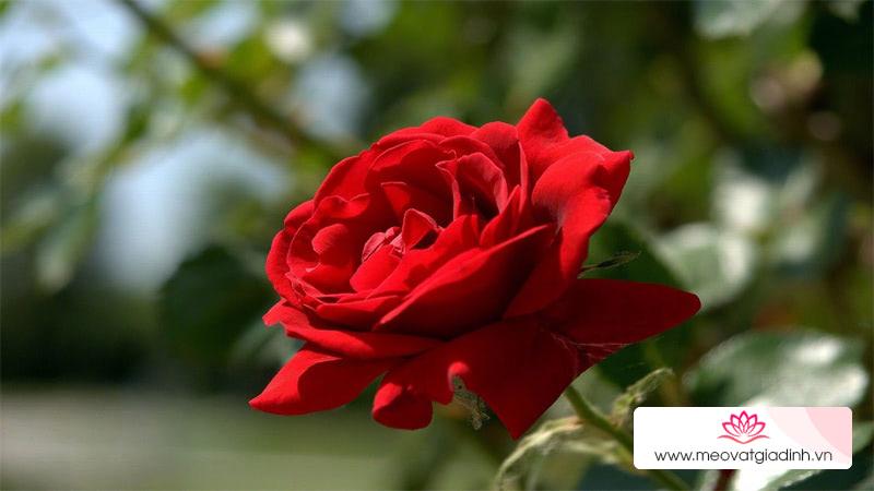 8 loại hoa dùng để thờ cúng trên bàn thờ dịp lễ, Tết và ý nghĩa của từng loại hoa