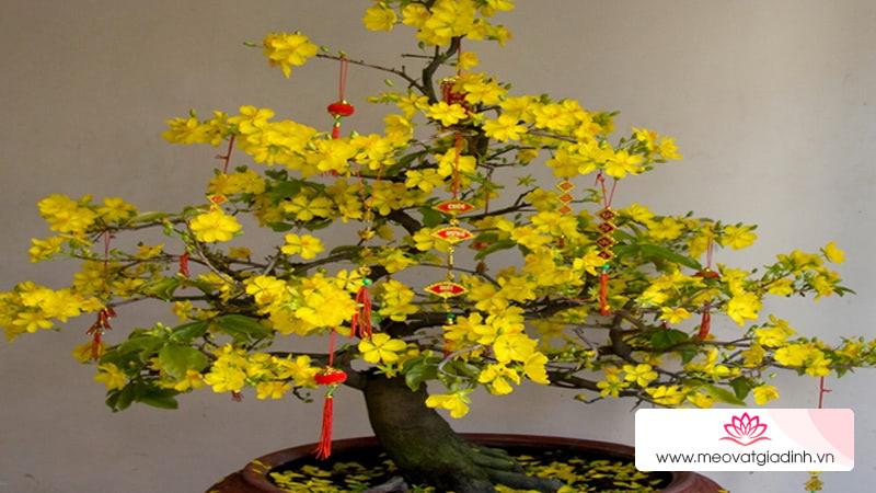 Cách chăm sóc hoa mai sau Tết để năm sau mai tiếp tục ra hoa