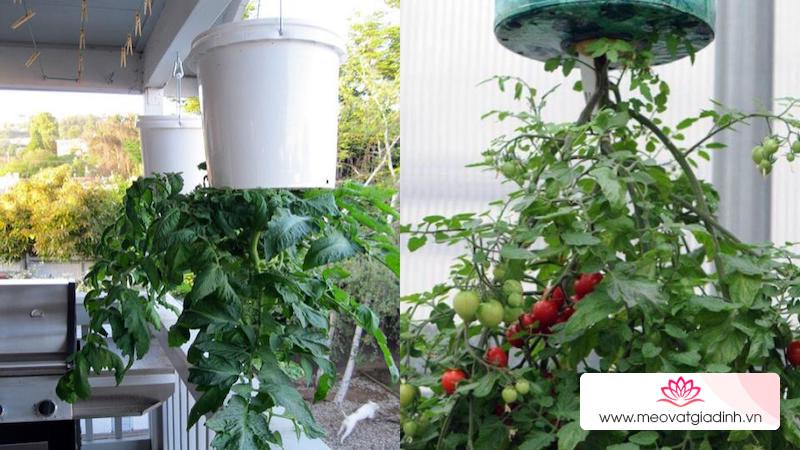 Cách trồng cà chua treo ngược độc đáo, tiết kiệm diện tích mà năng suất lại cao
