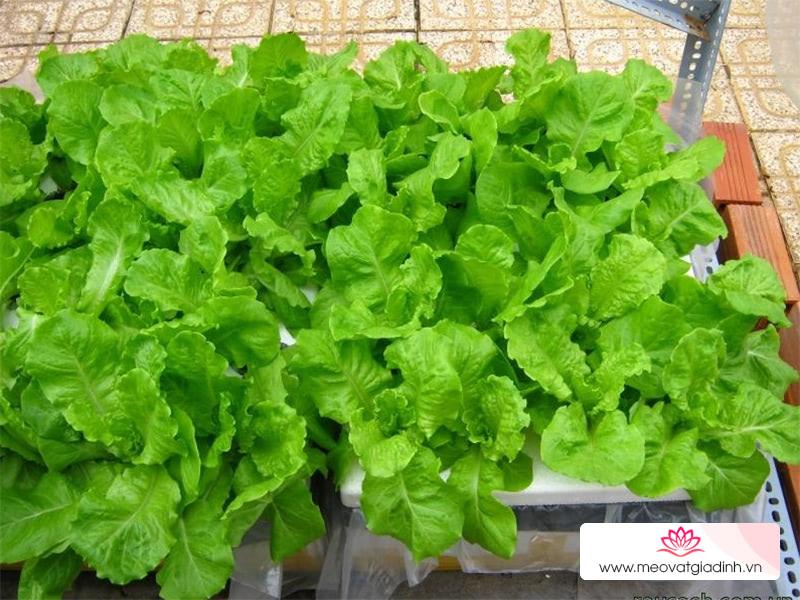 Cách trồng rau xà lách xanh tươi tại nhà