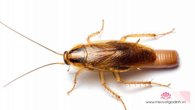 Gián Đức côn trùng gây bệnh nguy hiểm và cách phòng chống