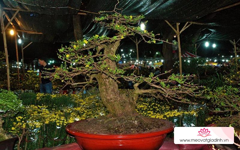 6 cây mai vàng đẹp nhất, có giá cao nhất ở Việt Nam