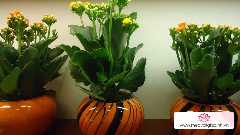 Vì sao cây hoa sống đời lại được nhiều người ưa chuộng vào ngày Tết