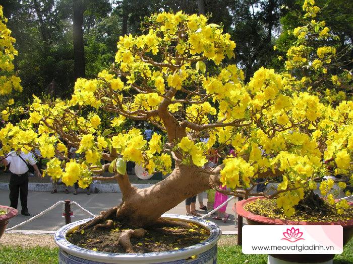 Ý nghĩa hoa mai vàng trong ngày Tết Nam Bộ