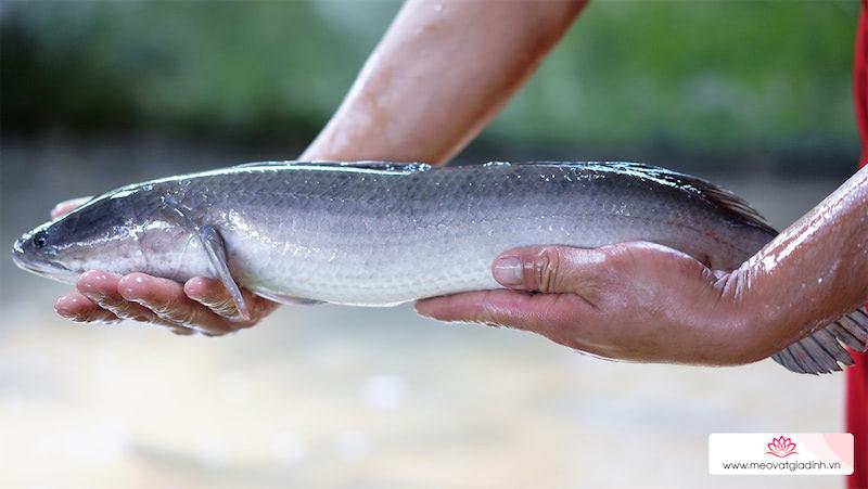 Cách phân biệt cá lóc đồng và cá lóc nuôi, cách sơ chế, khử mùi tanh cá lóc