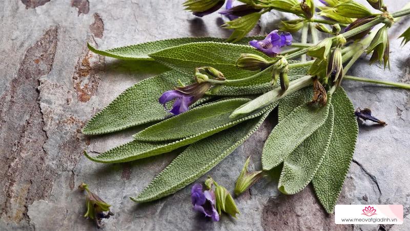 Cây xô thơm – sage là cây gì? Tác dụng của cây xô thơm đối với sức khỏe